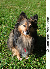 Brown Sheltie