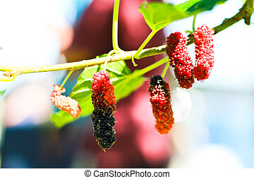 berry fruit in nature, mulberry