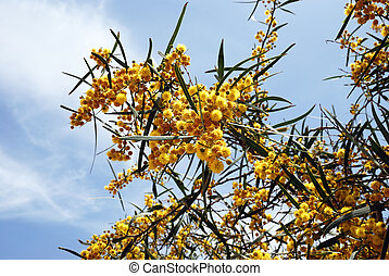 Blossoming acacia - Branches of blossoming acacia on sky...