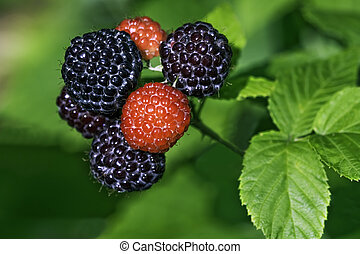 Black raspberries ready to pick in a home garden - Black...