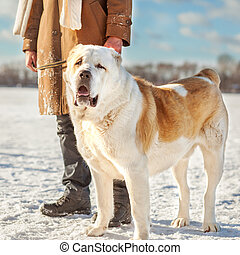 Man and central Asian shepherd playing with his dog outdoors