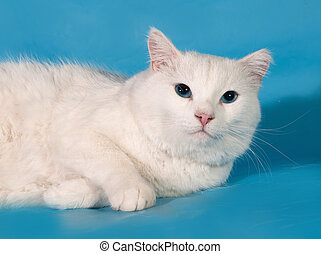 White fat cat lies on blue background