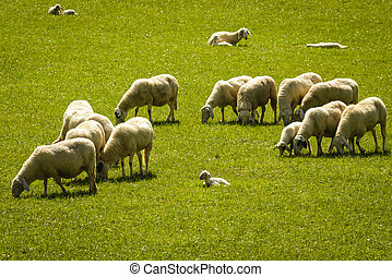 Sheep - Herd of sheep on beautiful mountain meadow