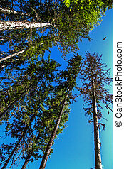 trees and buzzard - Trees growing in the siberian taiga and...