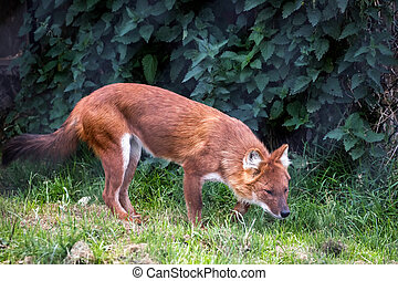 Dhole Cuon alpinus also called the Asiatic wild dog or...