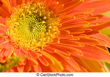 Orange marguerite - The close up view of orange marguerite