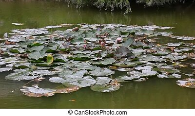 water lily flowers and leaves