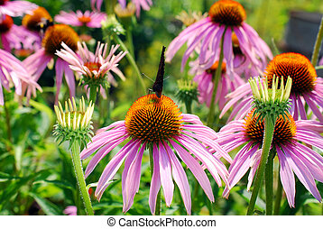 beautiful echinacea flower with butterfly - beautiful pink...