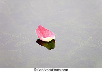 Lotus petal over water - Close up of pink lotus petal...