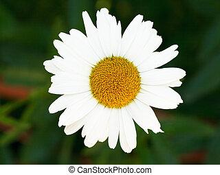 fresh Ox-eye daisy bloom close up - decorative fresh Ox-eye...