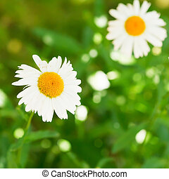 decorative Ox-eye daisy flowers on green lawn - two...