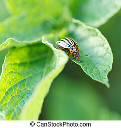 potato bug eating potatoes leaves in garden