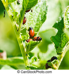 colorado potato beetle larva eating potatoes leaves in...