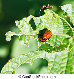 ten-lined potato beetle larva eating potatoes leaves in...