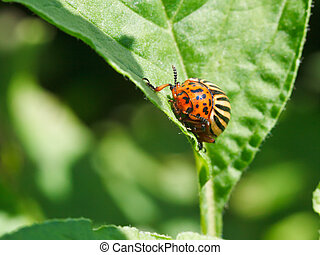 potato bug in potatoes leaves in garden