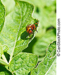 colorado potato beetle eats potatoes leaves in garden