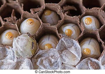 Larva wasps