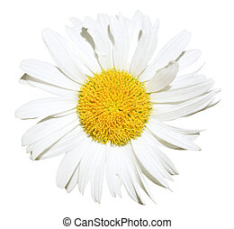 Ox-eye daisy flower close up isolated - decorative Ox-eye...