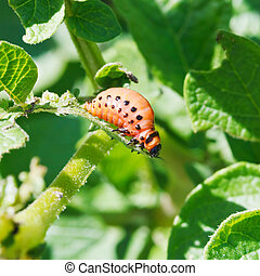 larva of colorado potato beetle eats potato leaf in garden...