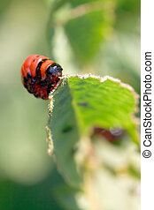 larva of colorado potato beetle eating potatoes leaves close...