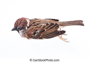 Death body of sparrow on white background