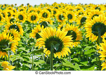 sunflower field in Caucasus region