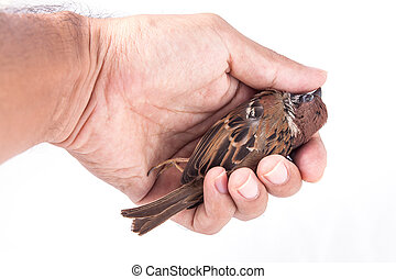 Death body of sparrow in hand on white background