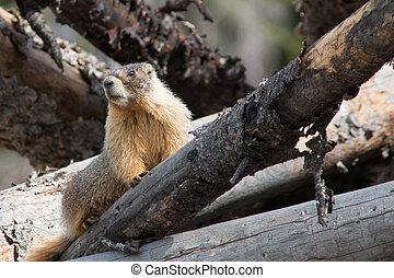 Curious Marmot - Marmots are curious creatures that live up...