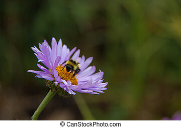 Colorado Tansy Aster Flower with a Bee - On a hike to...