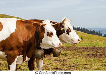 Two brown spotted cows in the black forest germany