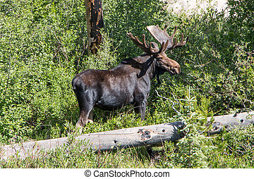 RMNP Bull Moose - While hiking in the Wild Basin Area of...