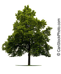Linden Tree isolated on white