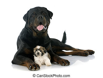 puppy shitzu and rottweiler in front of white background
