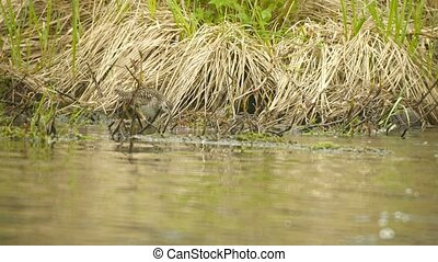 Pectoral sandpiper (Calidris melanotos) fed by the river....