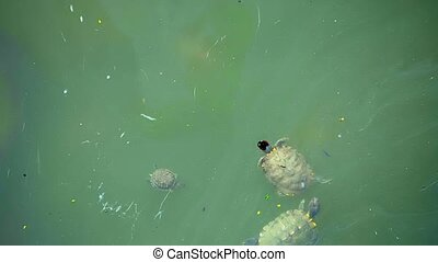 Turtles live in dirty water in the city Singapore - Video...
