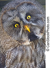Great gray owl (Strix nebulosa) - Close portrait of a great...