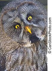 Great gray owl (Strix nebulosa) - Close portrait of a great...