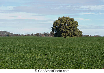 agriculture - a kurrajong tree in a young cereal crop