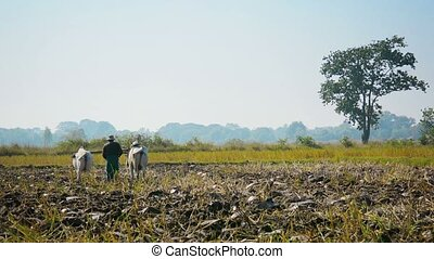 Farmer plowing a field with two cows and a wooden plow -...