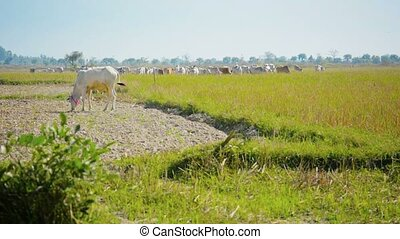 Cows graze on the stubble fields Burma - Video 1080p - Cows...
