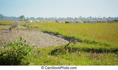 Cows graze on the stubble fields. Myanmar - Video 1080p -...
