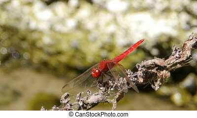 red and blue dragonflies on branch - red and blue...