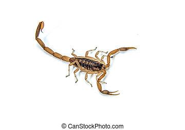 ladrar, escorpião