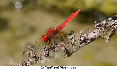 Red dragonfly on the branch - Red dragonfly on the dry...