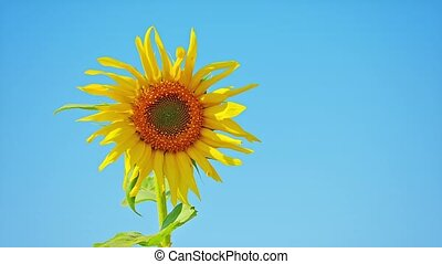 Sunflower against the blue sky