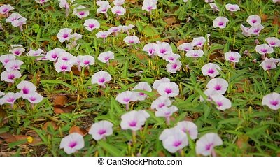 Convolvulus arvensis, Field Bindweed flowers on the lawn