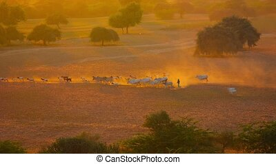Herd of cattle goes home in the evening on the field. Myanmar, Bagan