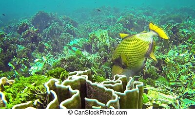 Titan triggerfish (giant triggerfish or moustache triggerfish) in their natural habitat