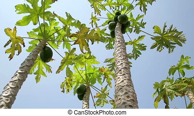 Panning- Papaya tree