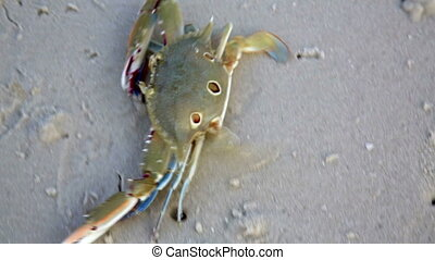 Blue crab at beach